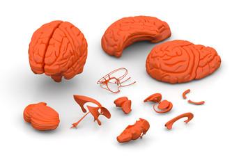 Brain parts - Human brain decomposed