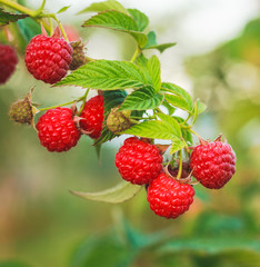 Raspberry. Raspberries. Growing Organic Berries closeup