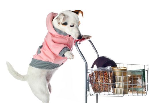 Jack Russell dog pushing a shopping cart full of food