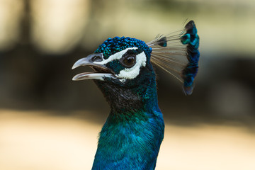 Closed up Peacock