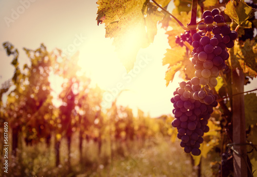 Wall mural Vineyard at sunset in autumn harvest.