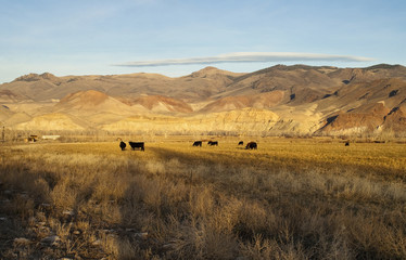 Cattle Grazing Ranch Livestock Farm Animals West Mountain Land