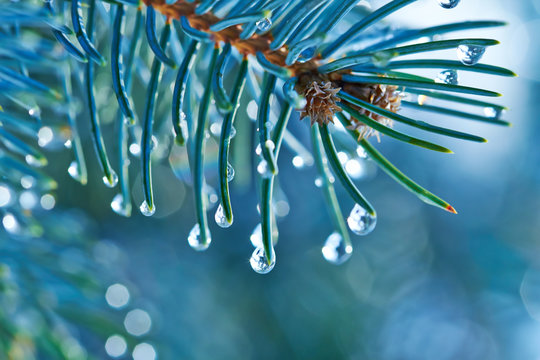 Blue spruce with drops of snow melting, macro