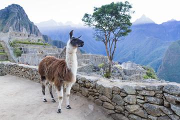 Photo sur Plexiglas Lama Lama in Machu Picchu, Peru