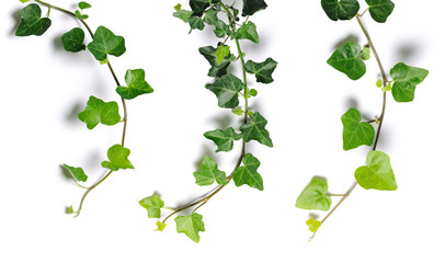 ivy twigs Wall mural
