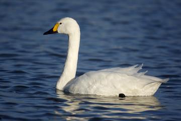 Fotoväggar - Bewicks swan, Cygnus bewickii,