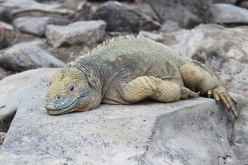 Land iguana from Galapagos