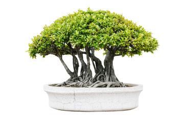 Bonsai tree isolated on white background