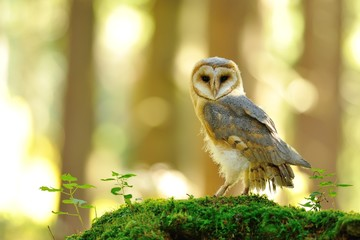 Wall Mural - Barn owl standing on the moss
