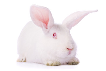 Timid young white rabbit isolated on white background.