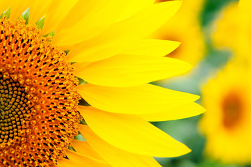 Image of beautiful sunflowers