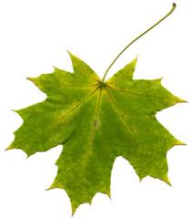 leaf maple isolate