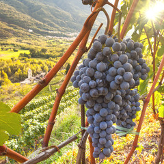 Fototapete - viticoltura in Valtellina (IT)