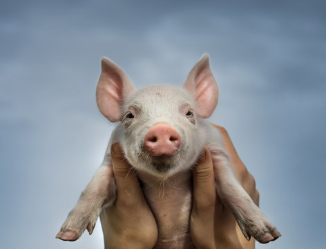 Close up of girl's hands holding piglet against sky