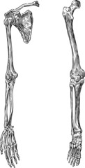 parts of  human skeleton