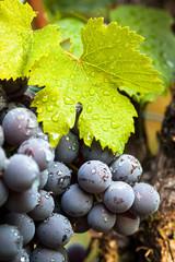 Fototapete - uva nera da vino