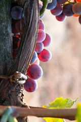 Fototapete - grapes close up