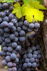 Fototapete - grappoli con foglie