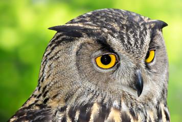 Wall Mural - Eagle Owl, Bubo bubo
