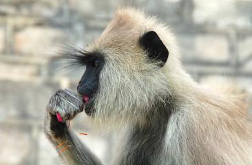Grey Langur monkey in Sri Lanka