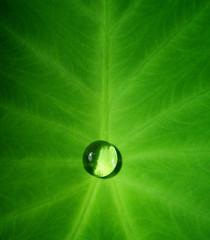 Drops of water in a lotus leaf.