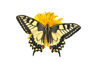 Swallowtail butterfly (Papilio machaon male) sitting on a dandel