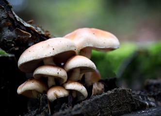 Rhodocollybia maculata mushrooms