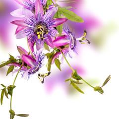 Wall Mural - Passionsblumen: passiflora violacea / Studioaufnahme