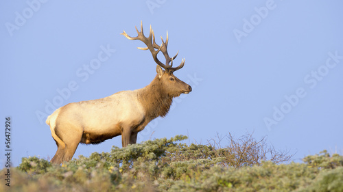 Tule Elk in Sunset light