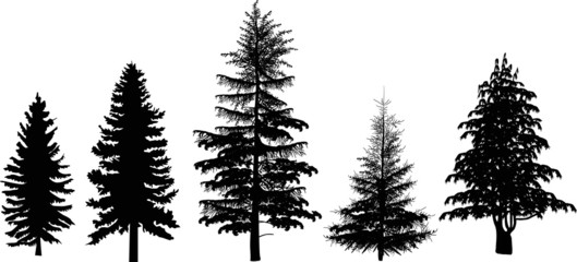 five black firs isolated on white