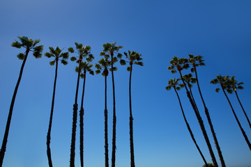California palm trees on blue sky