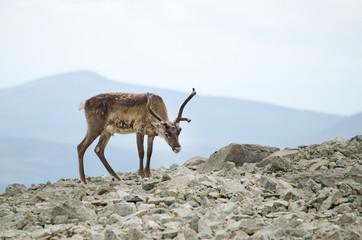 Reindeer mountains