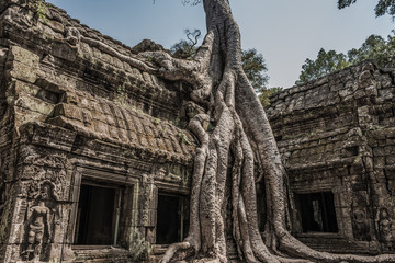 Classical picture of Ta Prohm Temple, tree roots growing over ru