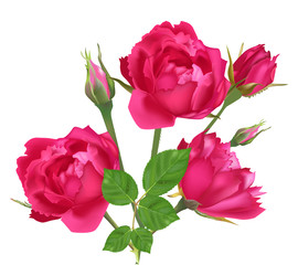 three pink roses and buds isolated on white