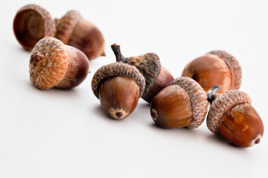 oak acorns on white background