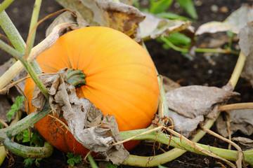 Ripe Pumpkin on the Vine