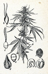 Hemp (Cannabis sativa)