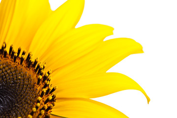 Sunflower close up isolated on white