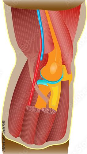Ellenbogen - Anatomie\