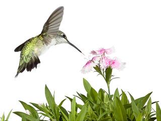 Hummingbird and Dianthus