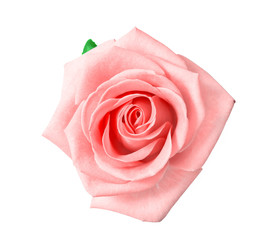 head of pink rose