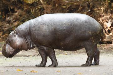 Foto auf Leinwand Kanguru Dwergnijlpaard