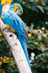 Foto auf Leinwand Kanguru Blauwgele ara