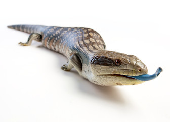 a blue tongue lizard poking its tongue out on a white background Wall mural