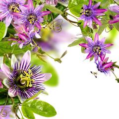 Wall Mural - Passionsblumen: passiflora violacea und passiflora incarnata