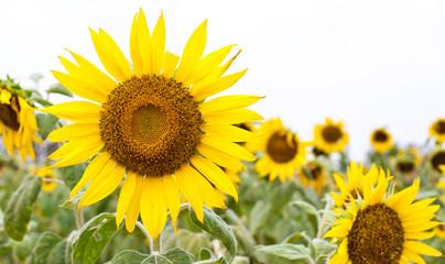 sun flower in garden