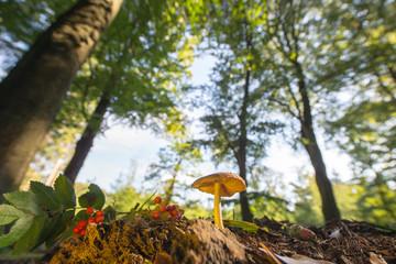 velvet bolete in forest