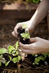 Hands prepare baby lettuce for planting