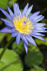 Wall Mural - Blue lotus petals and purple pollen and green leave