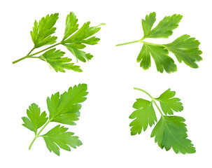 sprig of parsley is isolated